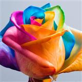 Colourful Rose